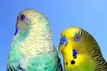 Symptoms of Liver Disease in Parakeets