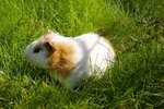 Signs of Head Trauma in Guinea Pigs