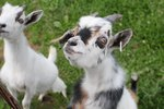 How to Keep Pygmy Goats