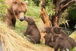 Do Cubs Hibernate Like Adult Bears?