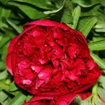 Opulent red peonies are gorgeous in September bouquets.