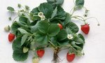 Strawberry Plants | What Kind of Weed Killer Is Safe for Strawberry Plants?