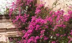 Tropical Plant Bougainvillea | The Lowest Temperature for the Tropical Plant Bougainvillea