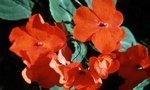 Impatiens | Black Spots on Impatiens