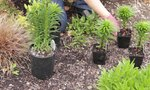 Asiatic Lily Planting Spacing | Asiatic Lily Planting Spacing