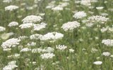 Is Queen Anne's Lace Poisonous to Dogs?