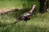 How to Clean a Wild Turkey