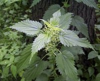 The European stinging nettle