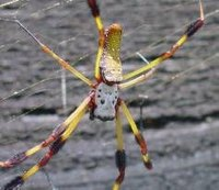 About the Banana Spider
