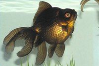 Identify and Take Care of Black Moor Fish