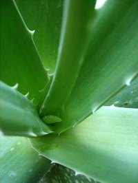 Aloe vera can be used to treat ringworm naturally