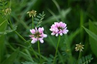 Crown Vetch as an Invasive Species