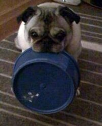 A pug asks for food