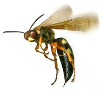 How Does a Wasp Sting?