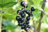 What Is Black Currant Oil Used For?