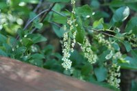 Chokecherry in blossom