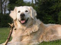 Golden Retriever Raw Food Diets