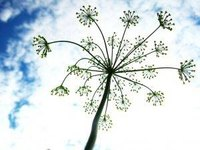 Dill seed forms in umbel-shaped flowers.