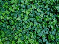 Is a Poison Ivy Rash Contagious?