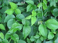Poison ivy is most commonly known for its three leaves and itchy rashes.
