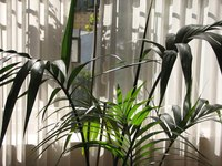 Indoor palm trees are susceptable to attack by insects.
