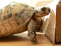 The African spurred tortoise requires full-spectrum light and the correct foods..