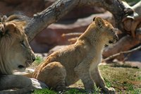 Lions in the savanna will eat almost any type of animal, but they prefer larger animals.