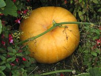 Running a pumpkin patch is labor-intensive but potentially lucrative.