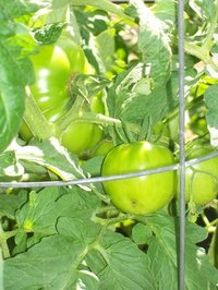 Cages prevent tall tomato plants from breaking.