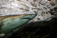 Shark meat contains high levels of mercury.
