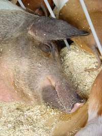 Pigs with lice can suffer with painful skin irritation.