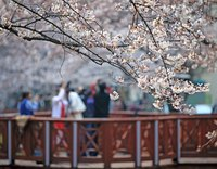 Spring is cherry blossom season in Washington, D.C.