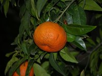 Most tangerine trees are self-fertile.