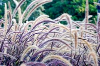 Ornamental grasses produce dramatic seed heads that last throughout the winter.