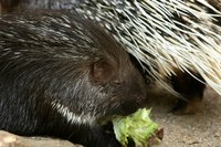 Porcupines are covered in protective quills.