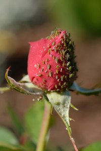 Aphids are particularly fond of roses.