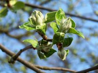Early buds could be vulnerable to harsh late frosts.