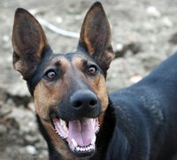 Working dogs, such as German shepherds, often make the best search and rescue dogs.