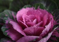 Chilly weather intensifies the colors on ornamental cabbage leaves.