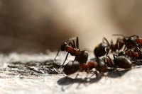 The side effects of ant pesticides can range from mild irritation to causing serious  harm.