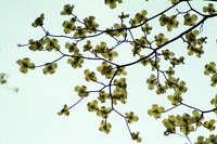 A dogwood tree that is still producing flowers or leaves may not look dead.