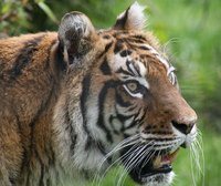 Although a solitary animal, tigers too have mutualistic relationships.