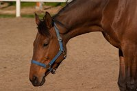 Keep horses on dexamethosone therapy under observation for side effects such as laminitis.