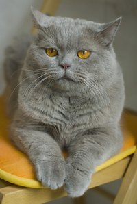 The British Shorthair is a largely sedentary cat.