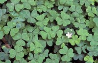 Oxalis is often found in St. Patrick's Day arrangements.