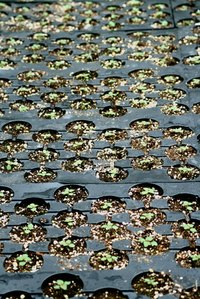 A plant nursery owner grows plants from seed or starter plants.