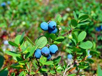Blueberry bushes can live 50 years or more.