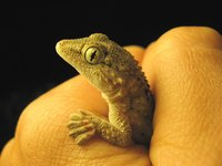 Lizards can make ideal pets.