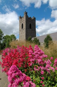 Red valerian is among the most common of Irish garden plants, and has been grown for centuries.