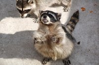 Raccoons are common in rural and suburban areas of North America.